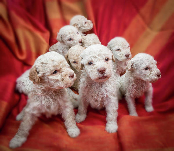 Pedigreed Photograph - Lagotto Romagnolo- Name Means Lake Dog by Animal Images