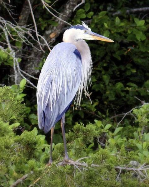 Photograph - Lake Anna Heron by Karen Saunders