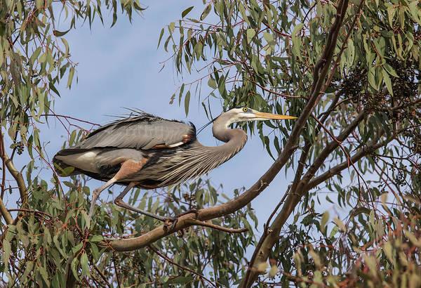 Ardea Photograph - Lake Murray San Diego, California Male by Michael Qualls