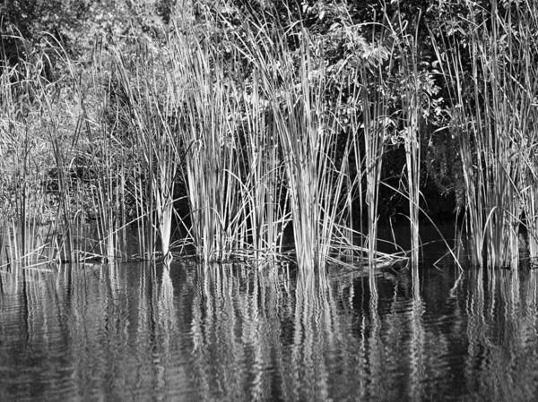 Photograph - Lake Trafford Reeds by Carolyn Marshall