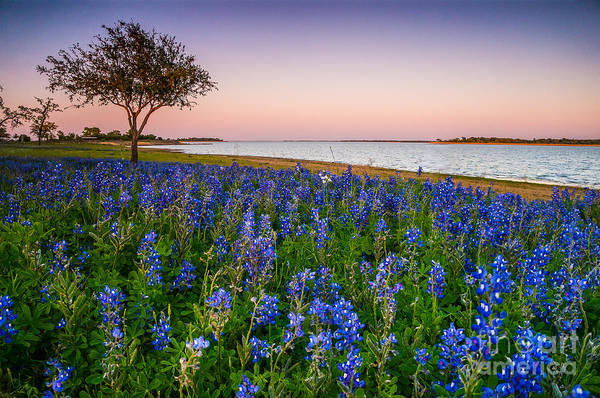 Wall Art - Photograph - Lakeside Texas Bluebonnets - Wildflower Field In Lake Somerville by Ellie Teramoto