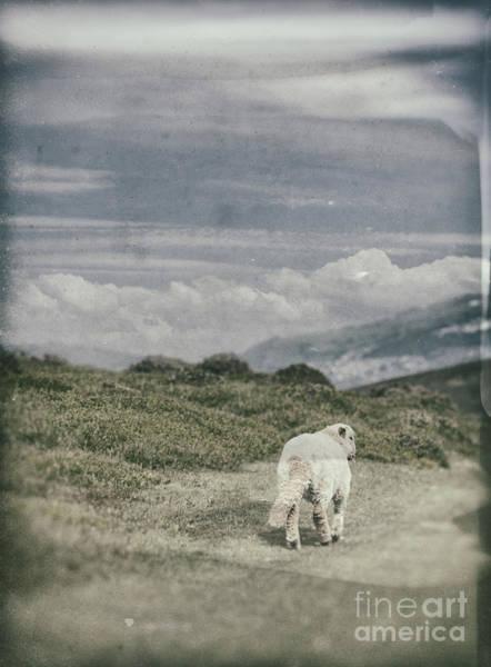 Lamb Photograph - Lamb by Amanda Elwell