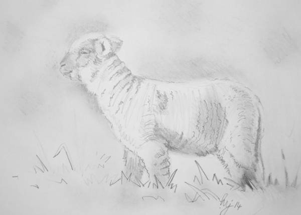 Drawing - Lamb Drawing by Mike Jory