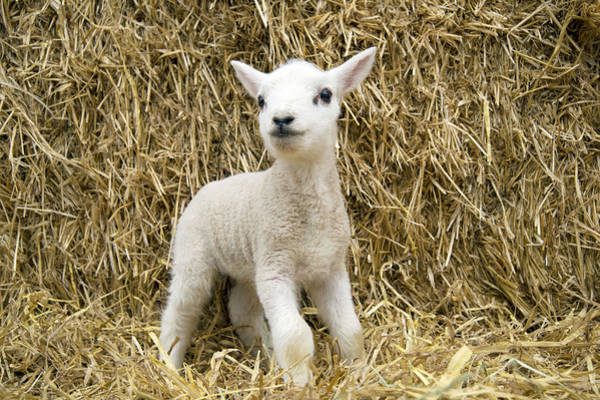 Ovine Photograph - Lamb In Straw by John Daniels