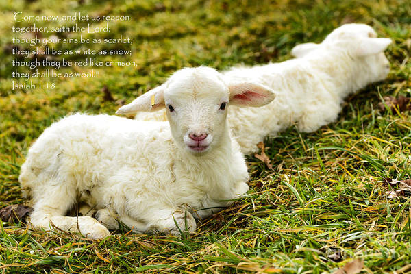 Photograph - Lambs And Scripture by Thomas R Fletcher