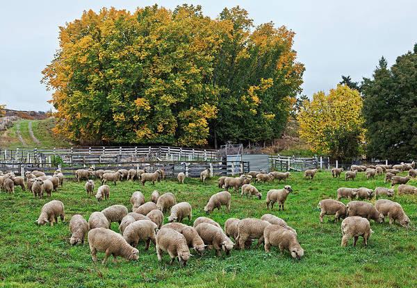 Grazing Photograph - Lambs Grazing At Ophir, Otago, New by Australian Scenics