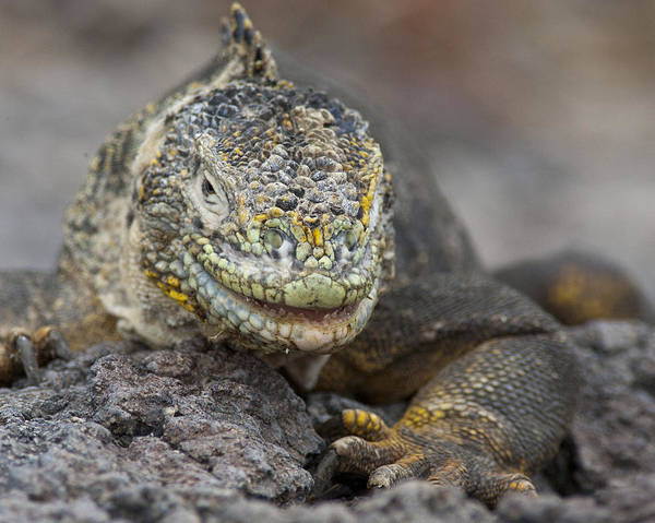 Photograph - Land Iguana by Tony Mills
