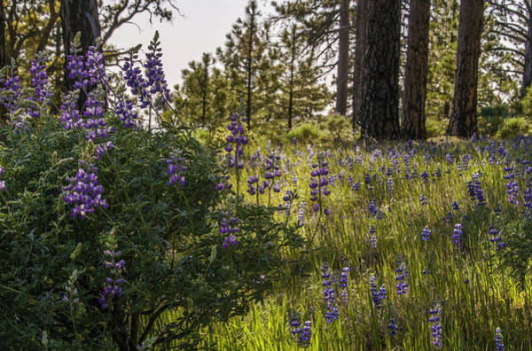 Figueroa Mountain Photograph - Land Of The Lupines by Lynn Bauer