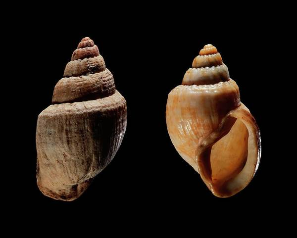 Zoological Photograph - Land Snail Shells by Gilles Mermet