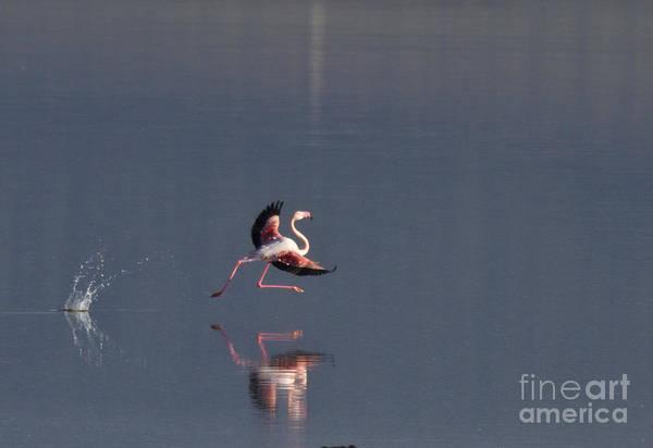 Photograph - Landing Flamingo by Heiko Koehrer-Wagner