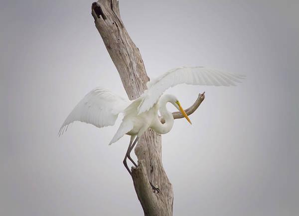 White Egret Photograph - Landing by Kim Hojnacki