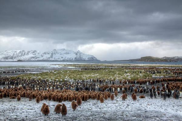 Georgia Photograph - Landscape King Penguin Colony Salisbury by Darrell Gulin