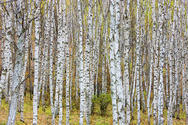 Texture Photograph - Landscape Of Birch Forest by Keren Su