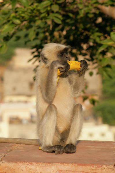 Wall Art - Photograph - Langur Monkey, Amber Fort, Jaipur by Inger Hogstrom