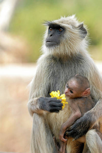 Monkey Flower Wall Art - Photograph - Langur Monkey And Young by Simon Fraser/science Photo Library