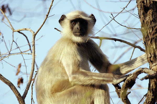 Old World Monkey Photograph - Langur Monkey by Louise Murray/science Photo Library