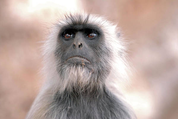 Leaf Monkey Wall Art - Photograph - Langur Monkey by Simon Fraser/science Photo Library