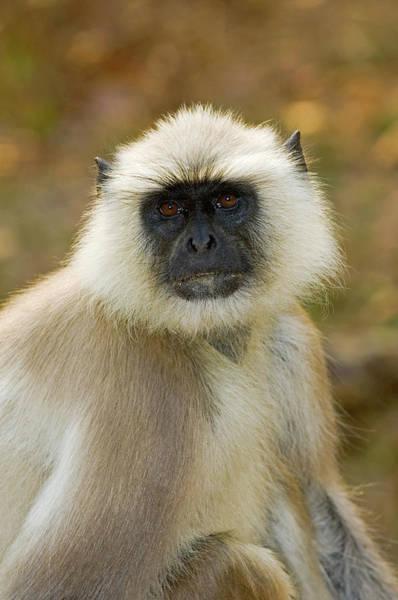 Leaf Monkey Wall Art - Photograph - Langur Monkey by Tony Camacho/science Photo Library