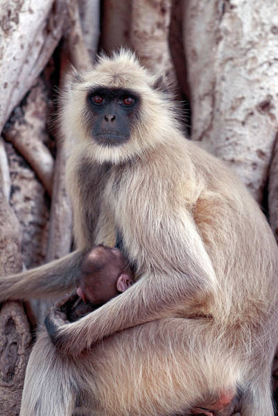 Old World Monkey Photograph - Langur Monkey With Infant by Simon Fraser/science Photo Library