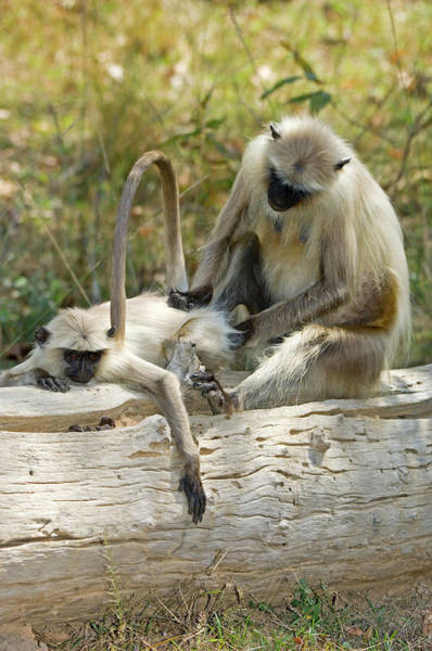 Old World Monkey Photograph - Langur Monkeys Grooming by Tony Camacho/science Photo Library