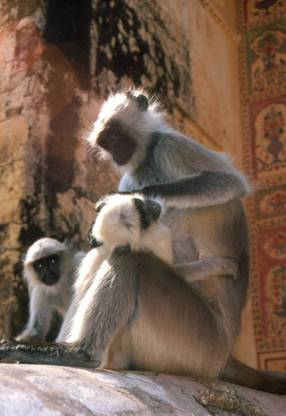 Old World Monkey Photograph - Langur Monkeys by Tony Craddock/science Photo Library