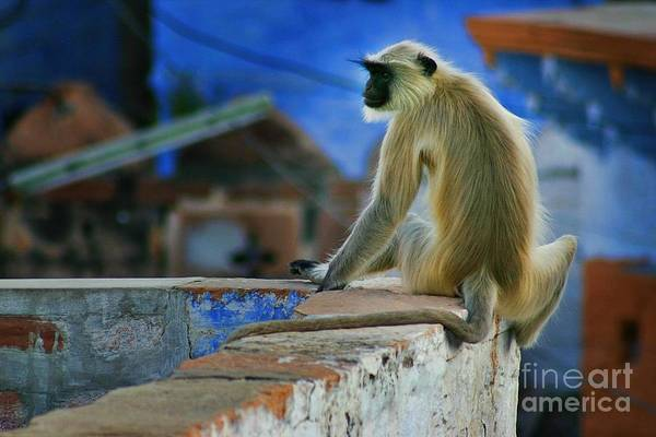 Northern India Photograph - Langur On A Wall In Rajasthan by Henry Kowalski