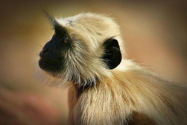 Northern India Photograph - Langur Profile by Henry Kowalski