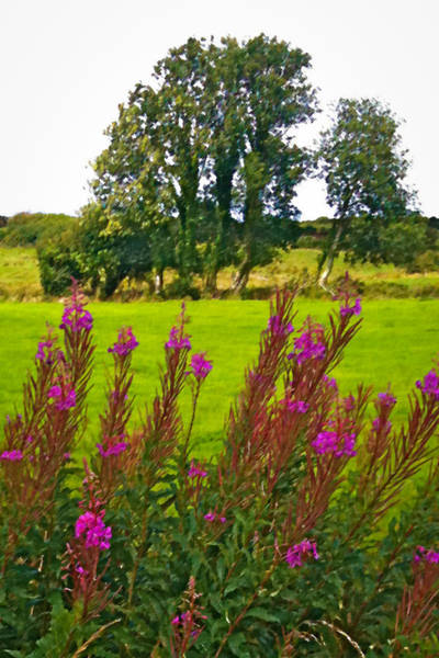 Digital Art - Lanna Fireweeds County Clare Ireland by James Truett