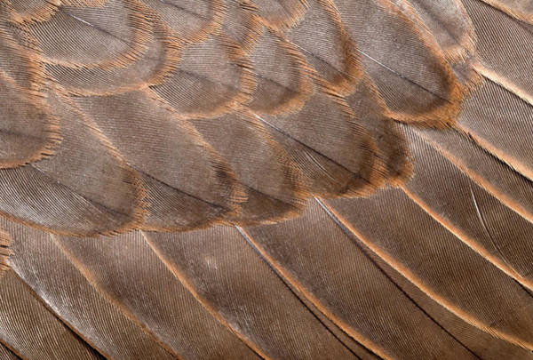 Falcons Photograph - Lanner Falcon Wing Feathers Abstract by Nigel Downer