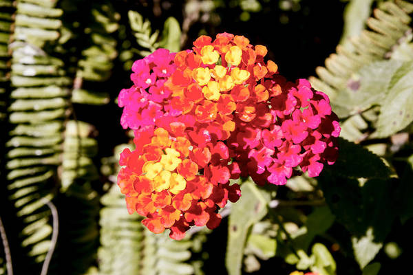 Digital Art - Lantana by Photographic Art by Russel Ray Photos