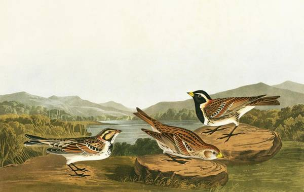Wall Art - Photograph - Lapland Longspur by Natural History Museum, London/science Photo Library
