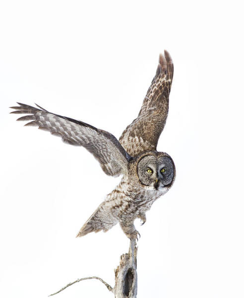 Wing Back Photograph - Lapland Owl On White by Mircea Costina Photography