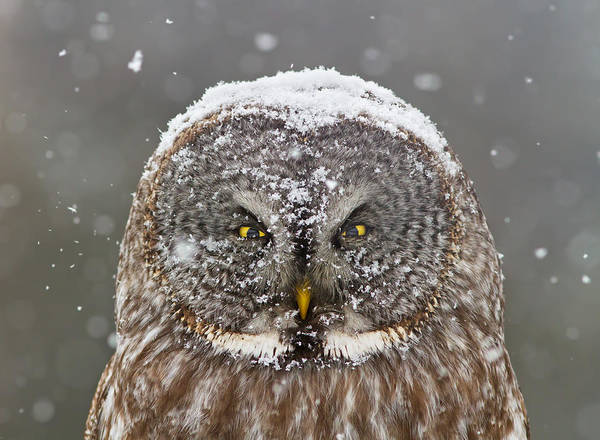 Wing Back Photograph - Lapland Portrait by Mircea Costina Photography