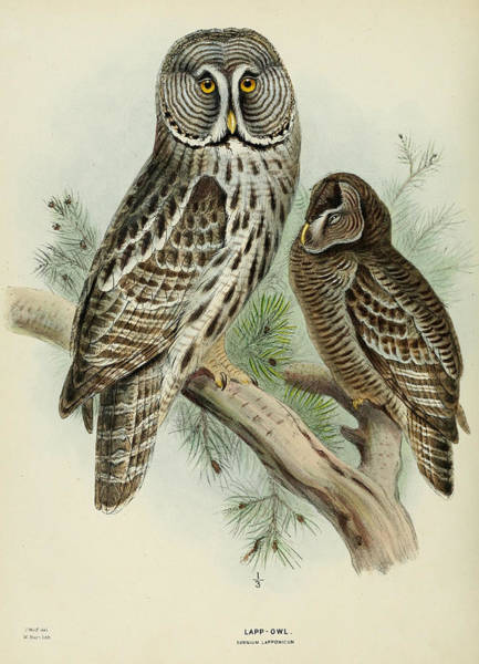 Owl Painting - Lapp Owl by Dreyer Wildlife Print Collections