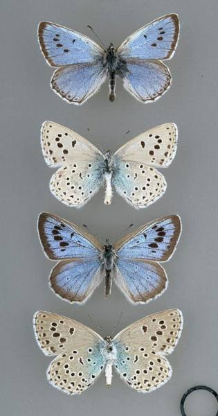 Wall Art - Photograph - Large Blue Butterfly by Natural History Museum, London/science Photo Library