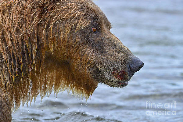 Photograph - Large Brown Bear With Telltale Signs Of Salmon On His Mouth by Dan Friend
