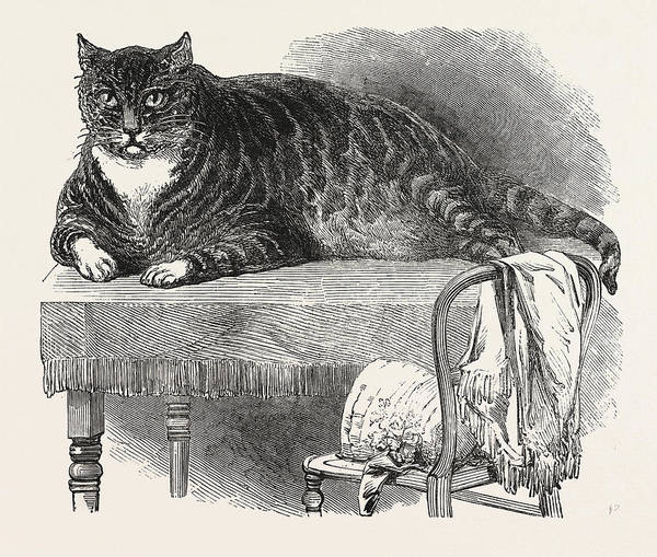 Tabby Drawing - Large Cat, 1850. This Noble Specimen Of The Cat by English School