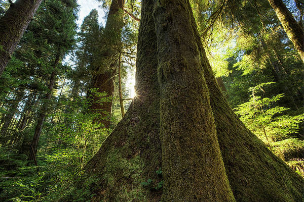 Vancouver Island Photograph - Large Douglas Fir Trees In The Stoltman by Robert Postma / Design Pics