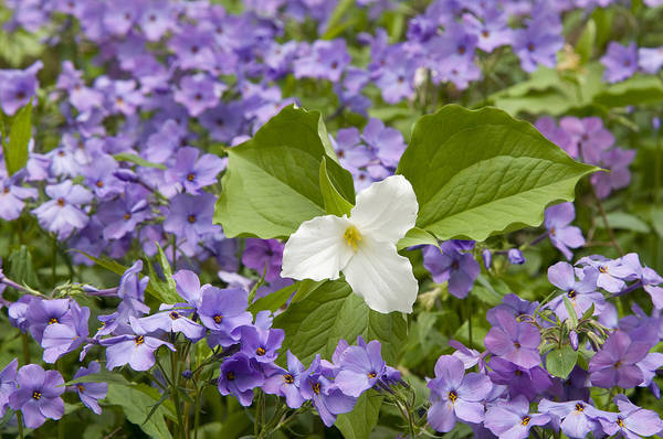 Photograph - Large-flowered Trillium Great Smoky Mts by Steve Gettle