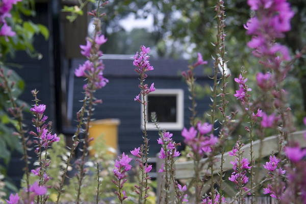 Lythrum Photograph - Large Flowering Loosestrife In Allotments Utrecht The Netherlands by Ronald Jansen