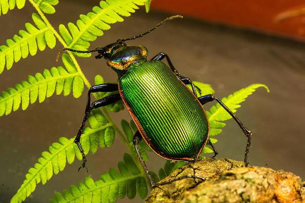 Pterygota Wall Art - Photograph - Large Green Beetle by Douglas Barnett