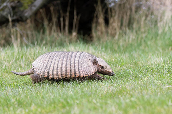Hairy Photograph - Large Hairy Armadillo by Dr P. Marazzi/science Photo Library