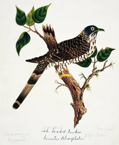 Wall Art - Photograph - Large Hawk-cuckoo by Natural History Museum, London/science Photo Library