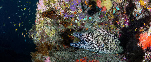 Eels Photograph - Large Honeycomb Moray Eel Emerges by Panoramic Images