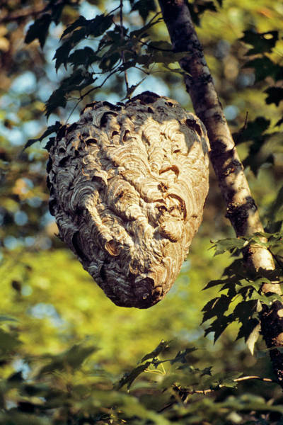 Social Living Wall Art - Photograph - Large Hornet Nest Vespula Maculifrons by Animal Images
