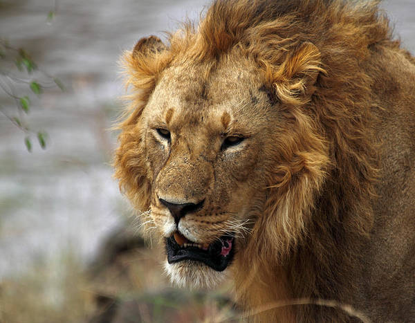 Carole King Photograph - Large Male African Lion by Carole-Anne Fooks
