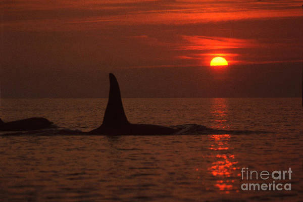 Photograph - Large Male Orca At Sunset Off Of San Juan Island Washington Pa Hathaway  1986 by California Views Archives Mr Pat Hathaway Archives