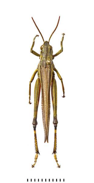 Entomology Photograph - Large Marsh Grasshopper by Natural History Museum, London