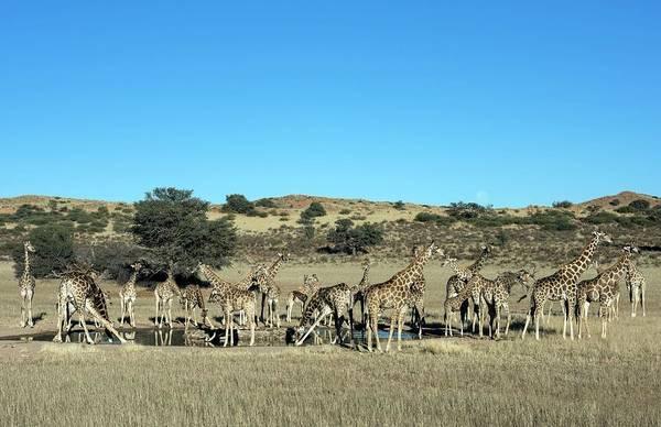 Wall Art - Photograph - Large Nursery Herd Of Giraffes by Tony Camacho/science Photo Library
