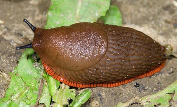 Molluscs Wall Art - Photograph - Large Red Slug by Nigel Downer